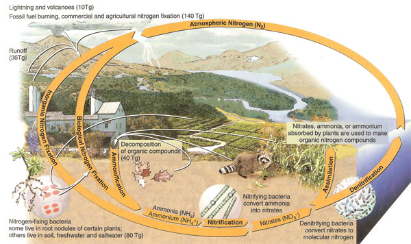 Natural history natural cycles figure 226 nitrogen cycle source author cunningham w et al 2007 publisher mcgraw hill ny with permission of the mcgraw hill companies ccuart
